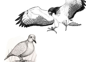 hawk&dove-flattened